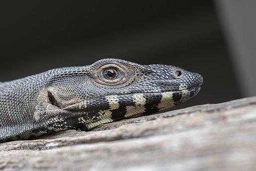 Lace Monitor, Lizard, Reptile, Scales