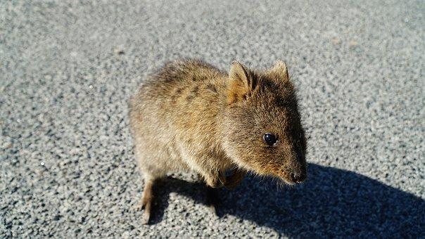 Quokka, Rottnest, Australia, Marsupial, Animal