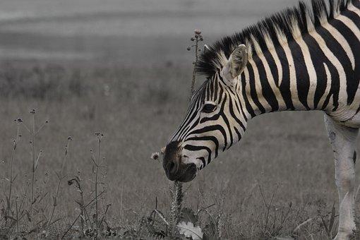 Zebra, Sad, Savanna