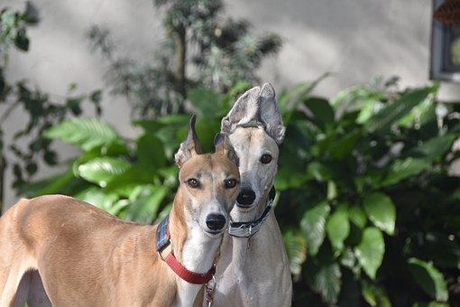 Greyhounds, Sight Hound, Retired Racing Dog, Greyhound