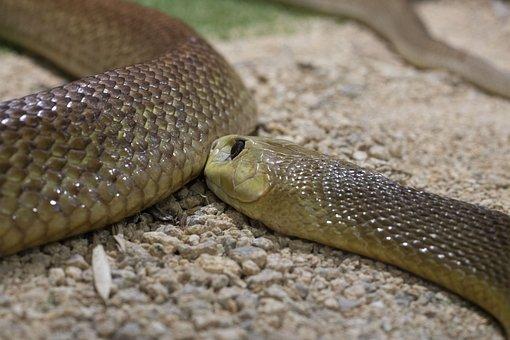 Snake, Reptile, Scales, Animals, Taipan