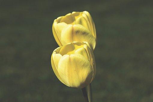 Tulip, Tulpenbluete, Spring Flower, Blossom, Bloom
