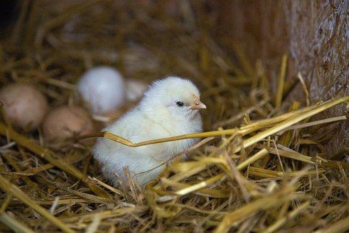 Chicks, Straw, Nest, Yellow