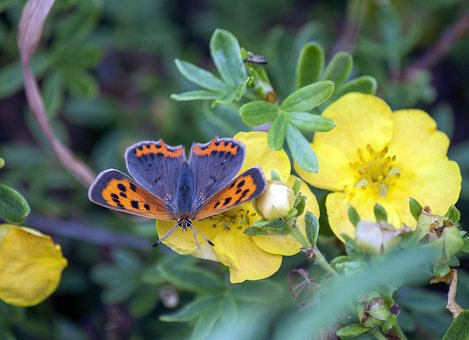 Small Copper, Butterfly, Nature, Insect, Summer