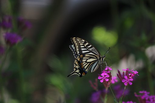 Butterfly, Swallowtail, Insects, Nature