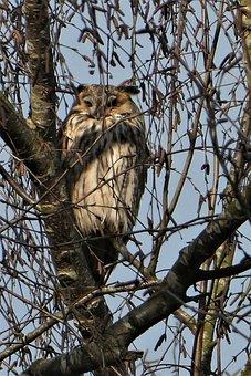 Long-eared Owl, Forest, Bird Of Prey, Bird, Tree, Beak