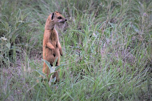 Red Meerkat, Looking, Upright, Lookout, Curious, Red