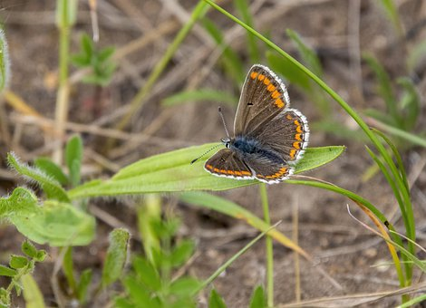 Brown Argus, Butterfly, Nature, Wing, Small, Insect