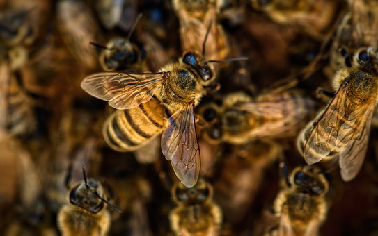 Bees, Wings, Insects, Honey, Nature, Pollination