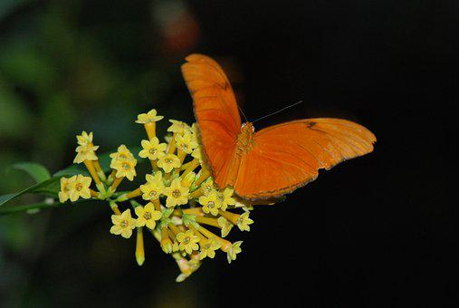 Butterfly, Feeding, Wings Spread, Orange