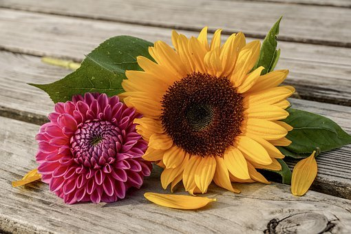 Sunflower, Dahlia, Summer, Sunny, Color, Yellow, Pink