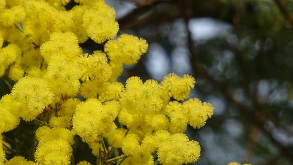 Mimosa, Yellow Flower, Summer, Italy, Spring, Flowers