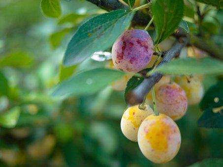 Yellow Plums, Fruit, Fruit Tree, Stone Fruit, Plums