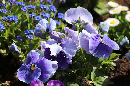 Pansy, 400–500, Viola, Violet Plant, Violet, Flower