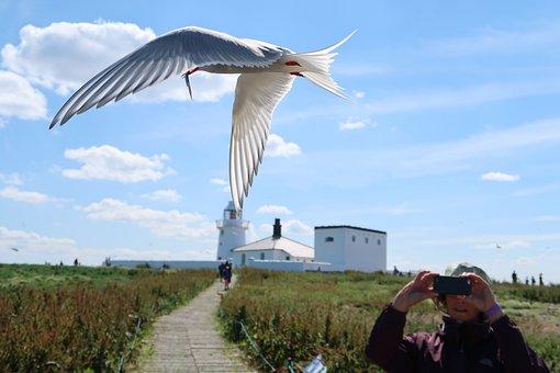 Arctic Tern, Bird, Flying, In Flight