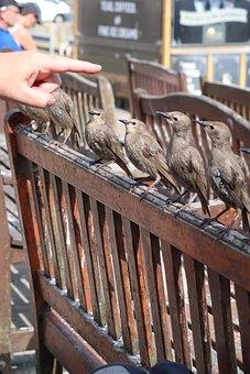 Baby Starlings, Chicks, Birds, Bench, Starlings, Cute