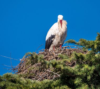 Stork, Nest, Ave, Be Born, Bird, Plumage, Pen, Peak