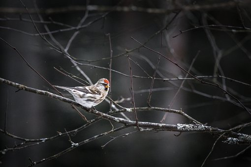 Redpoll, Carduelis Flammea, Bird, Winter