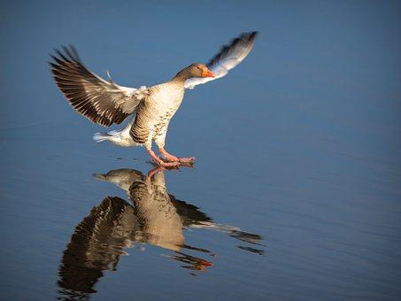 Greylag Goose, Goose, Bird, Water Bird, Poultry, Nature