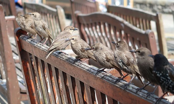 Birds, Bench, Starlings, Cute, In Seahouses, Nature