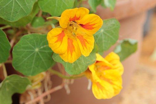 Nasturtium, Plant, Yellow, Flower, Flora, Botanica