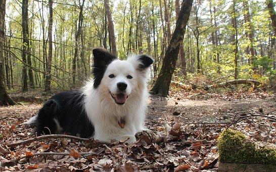 Happy, Happy Dog, Dog, Border Collie