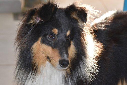 Dog, Shetland Sheepdog, Dog Portrait, Pup, Dog Breed