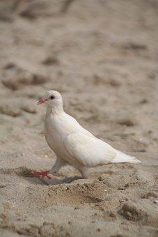Dove, White, Beach, Intervention, Strut, Bird, Nature