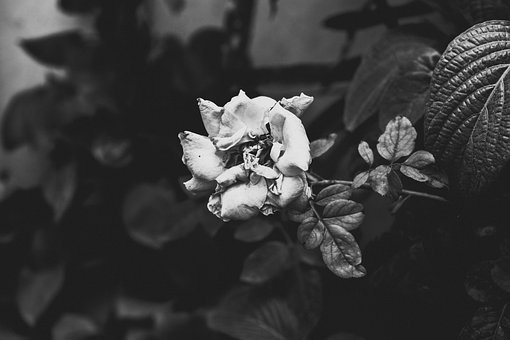 Flower, Black And White, Rose, Dying