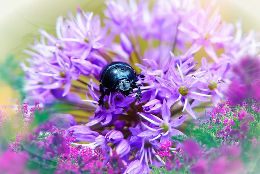 Forest Beetle, Female, Insect, Flower