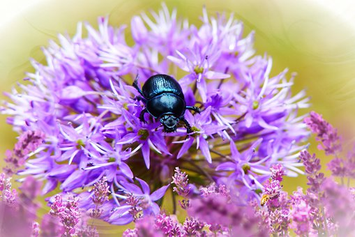 Forest Beetle, Female, Insect, Antennae, Flower