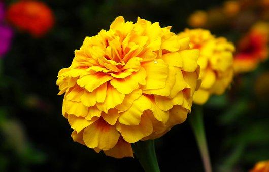 Marigold, Flowers, Summer, Garden