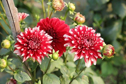 Flower, Red, Poppy, Love, Bloom, Garden, Plant