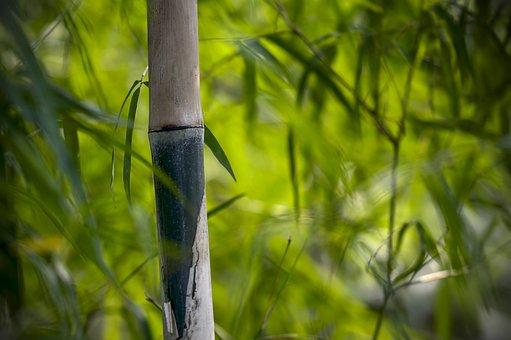 Bamboo Stem, Bamboo Groves, Foliage, Leafage, Green