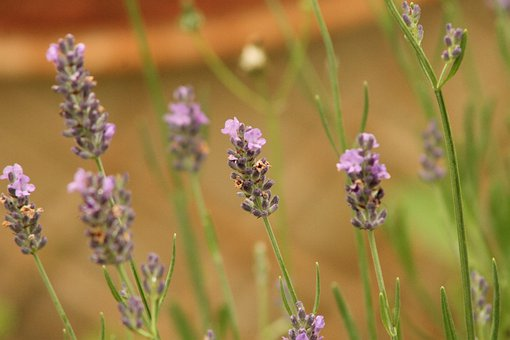 Lavender, Purple, Blossom, Flowers, Herb, Floral