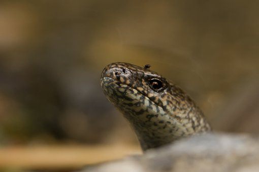 Slow Worm, Nature, Reptile, Close Up