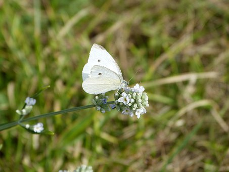White Butterfly On Lavender, Flower, Flora, Nature