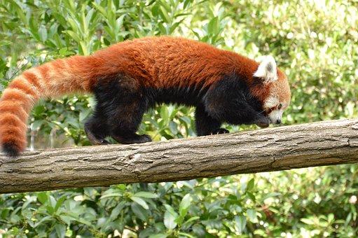 Panda, Animal, Cute, Wildlife, Mammal, Zoo, Nature, Fur