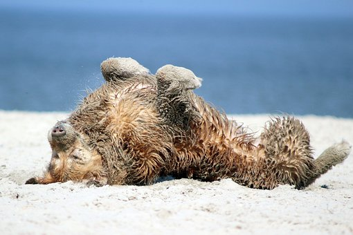 Hund, Sommer, Sonne, Strand, Urlaub, Dog, Summer, Pet