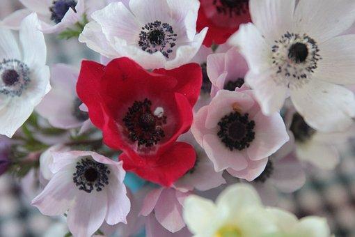 Anemone, Plant, Wildflower, Nature