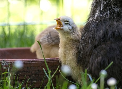 Chicken, Chicks, Easter, Animal, Hen, Poultry, Farm