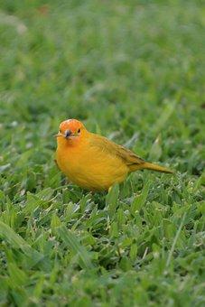 Saffron Bunting, Bird, Yellow, Songbird, Prey, Nature