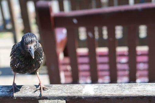 Bird, Bench, Starling, Cute, Solo