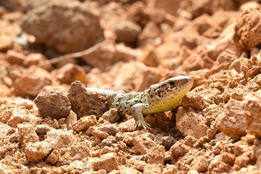 Reptile, Gecko, Wildlife, Animal, Nature, Terrarium