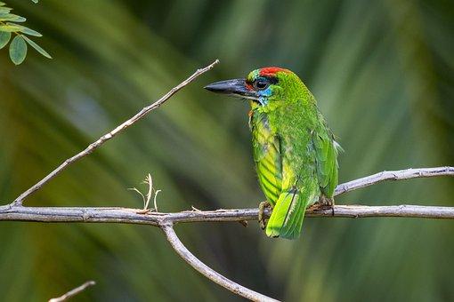 Megalaima Mystacophanos, Thailand, Bird