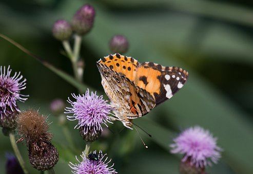 Thistle, Vanessa Cardui, Butterfly