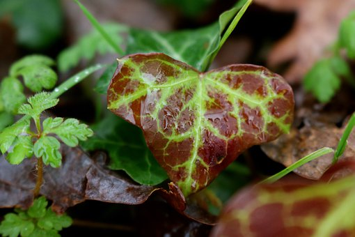 Ivy, Variegated Ivy, Green, Red