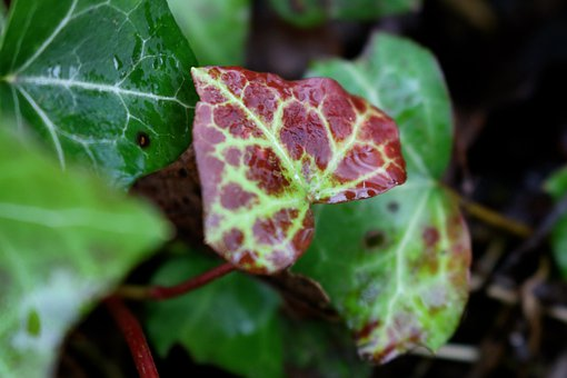 Ivy, Variegated Ivy, Green, Red, Plant