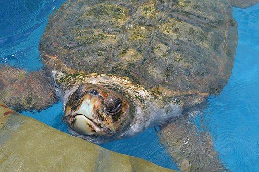 Tamar Project, Giant Tortoise, Bahia, Brazil