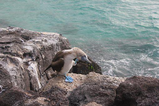 Blue-footed Booby, Sula Nebouxii, Blue Feet, Bird